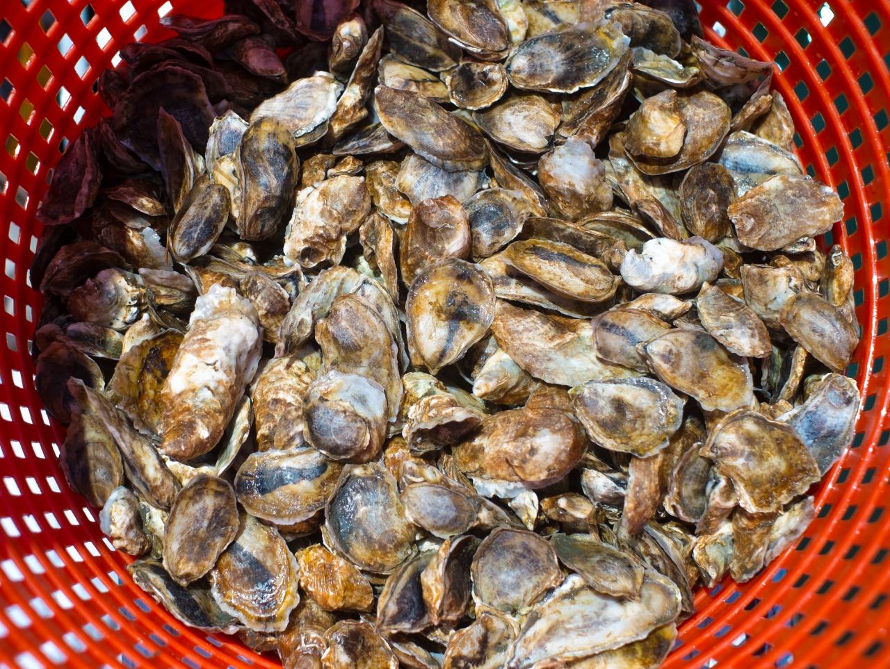 oyster seed in orange bushel basket.